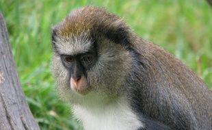 Les deux singes volés ce week-end à la station sont des mones de Campbell.