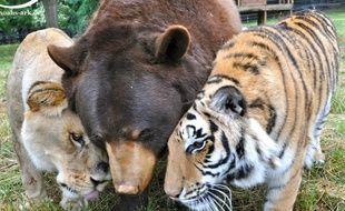 Leo le lion, Shere Khan le tigre et Baloo l'ours sont inséparables depuis 15 ans.