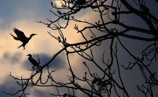 Des oiseaux sur un arbre partiellement submergé dans l'eau dans la réserve de Mamiraua, dans l'État d'Amazonas, au Brésil. Le pays abrite plus de la moitié des espèces de plantes et d'animaux du monde, mais ses paradis écologiques sont confrontés aux activités humaines qui vont croissantes.