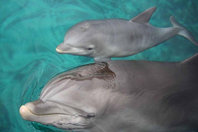 L'un des deux delphineaux nés à Planète sauvage, ici accompagné de sa mère.
