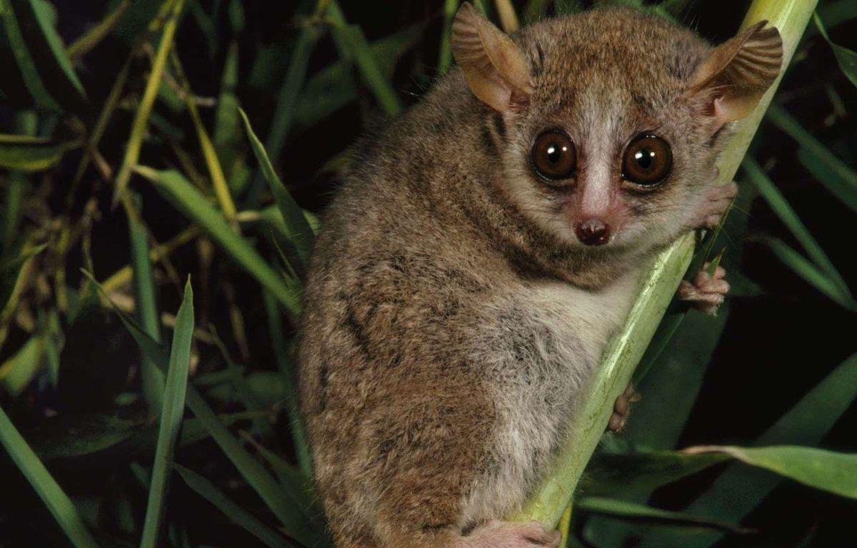 Illustration: Un microcèbe roux, à Madagascar. – Photo by Mint Images / Rex Features