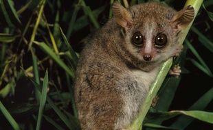 Illustration: Un microcèbe roux, à Madagascar.