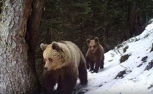 Une ourse des Pyrénées et son ourson de 13 mois filmés à Melles, en Haute-Garonne, le 4 avril 2017.