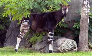 Un okapi (photo d'illustration).