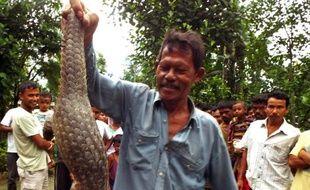 Un villageois indien montre un pangolin chinois capturé à Dogaow, dans l'Etat de l'Assam, au Nord-Est de l'Inde, le 21 juillet 2014