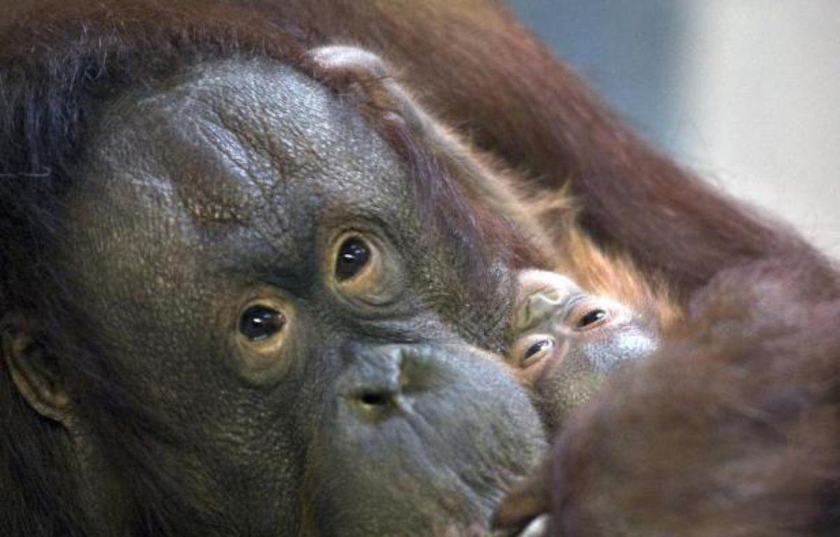 Une femelle orang-outan et son petit – Henning Bagger SCANPIX DENMARK