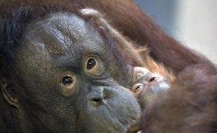 Une femelle orang-outan et son petit