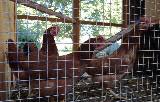 Les trois poules de la famille de Gabin, dans un enclos situé dans le jardin à La Robertsau, dans le nord de Strasbourg.