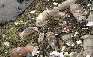 Des cochons ont été retrouvés morts dans une rivière près de Shanghai, en Chine, le 10 mars 2013.