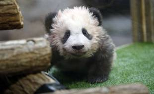 Le bébé panda de Beauval a fêté ses cinq mois ce 4 janvier 2018 et doit faire sa première sortie publique ce 13 janvier.
