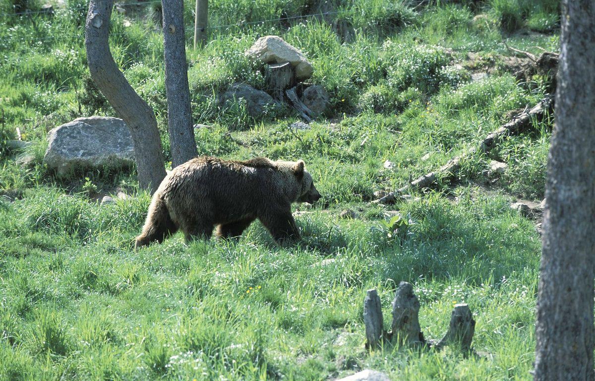 Illustration: un ours dans les Pyrénées. – FRILET/SIPA