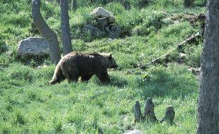 Illustration: un ours dans les Pyrénées.