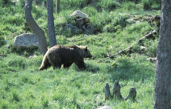 Pyrénées-Atlantiques: Une des deux ourses relâchées a attaqué une brebis en Espagne