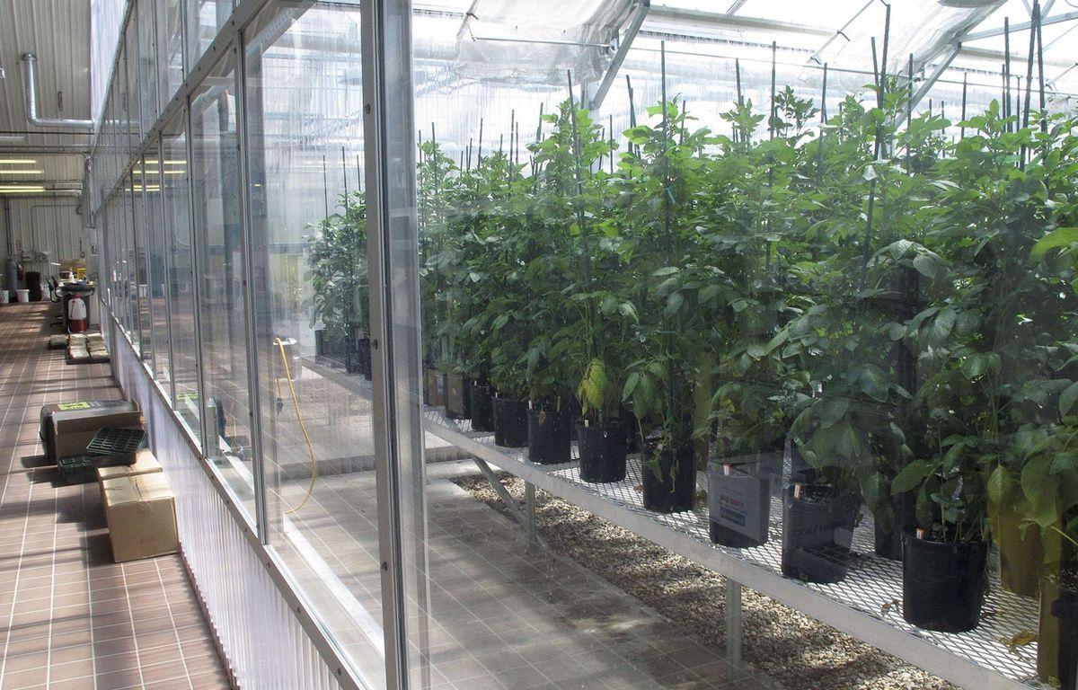 Illustration: des plants de pommes de terre OGM aux Etats-Unis. –  John Miller/AP/SIPA