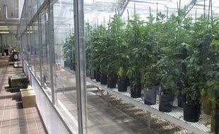 Illustration: des plants de pommes de terre OGM aux Etats-Unis.