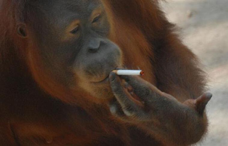 Tori, l'orang-outan fumeuse, le 21 septembre 2011, au zoo de Solo, en Indonésie.