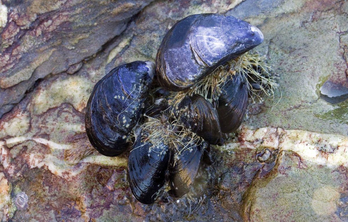 Le byssus des moules est la colle la plus puissante au monde. – Paul Kay / SplashdownDirect / Re