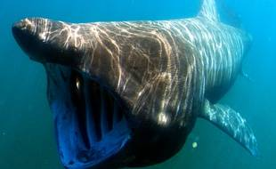 Le requin pèlerin peut mesurer jusqu'à 12 mètres mais est inoffensif pour l'homme.