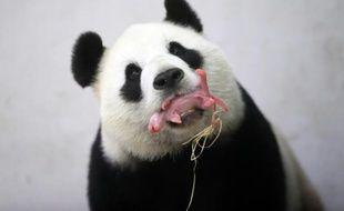 La femelle panda Hao Hao tient son nouveau-né dans sa gueule au zoo de Paira Daiza en Belgique le 2 juin 2016