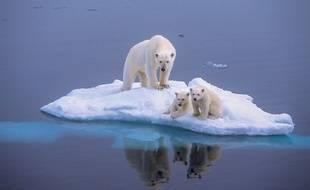 Des ours blancs sur la banquise.