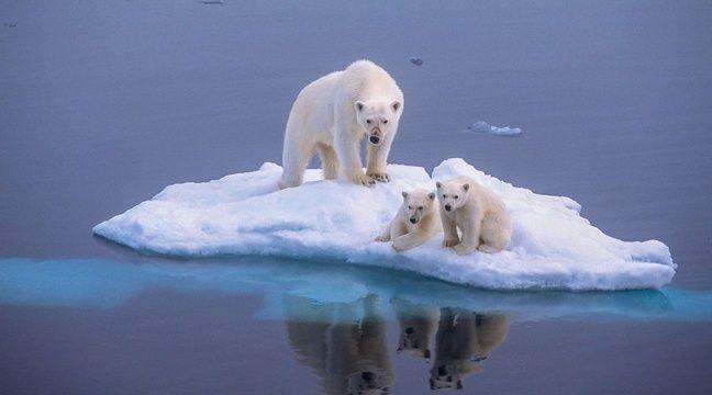 Des ours blancs sur la banquise.  –  Paul Goldstein/REX Shut/SIPA