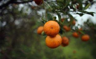 La production d'agrumes en Floride, deuxième producteur mondial de jus d'orange après le Brésil, est menacée par une maladie de ces arbres fruitiers provoquée par une bactérie venue d'Asie qui mobilise la science pour trouver un remède.