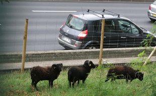 Des moutons d'Ouessant utilisés pour entretenir les pelouses du périphérique.