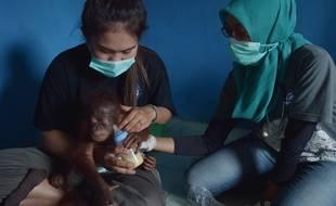 Un orang outan sauvé à Bornéo, en Indonésie.