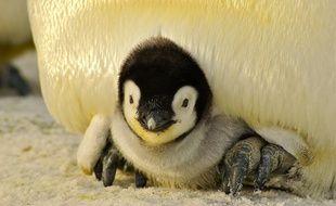 Illustration du petit du pingouin.