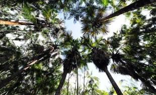 Des arbres à açai poussent dans la forêt à Anapu, dans le nord du Brésil, le 1er juin 2012
