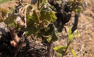 Une vigne grillée par le gel, dans l'Hérault