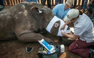 Des vétérinaires bandent Hope, une rhinocéros à Bela Bela, à quelque 150 km au nord de Johannesbourg, le 20 mai 2016