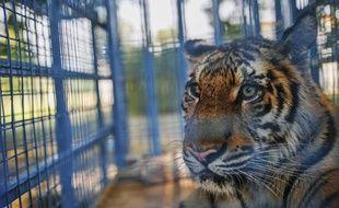 Un tigre s'est échappé d'un zoo à Paris. (Illustration)
