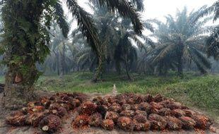 La récolte des fruits des palmiers à huile, prête à être pressée pour en faire de l'huile, le 16 septembre 2015 dans une plantation sur l'île de Sumatra en Indonésie.