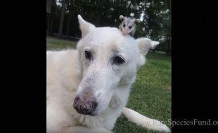 Le chien et le petit opossum sont inséparables.