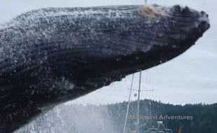 Une baleine à bosse qui fait une pirouette