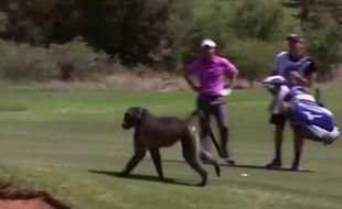 Un babouin entre sur un parcours de golf en Afrique du Sud le 5 décembre 2014.