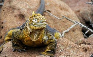 Un iguane jaune des Galapagos (illustration).