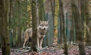 Un loup dans le zoo de Thale, en Allemagne (image d'illustration).