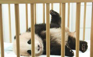 Dévoilement du nom du bébé panda géant de Pairi Daiza : Tian Bao (Trésor du ciel). Brugelette (Belgique), le 15 septembre 2016.