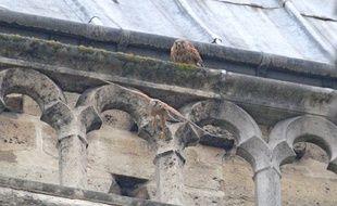 Notre-Dame de Paris ne compte plus qu'un couple de faucons crécerelles, contre cinq couples dans les années 1980.