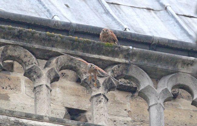 Incendie à Notre-Dame de Paris: Le couple de faucons crécerelles est revenu nicher à la cathédrale