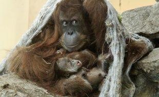 Le petit orang-outang né au zoo d'Amnéville.
