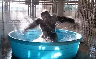 Zola le gorille s'éclate dans sa bassine au zoo de Dallas (Etats-Unis).