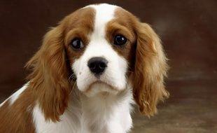Un chien King Charles.