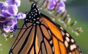 Plusieurs groupes environnementalistes américains ont engagé une procédure mardi auprès des autorités fédérales pour demander la protection des papillons monarques en déclin de plus de 90% ces vingt dernières années