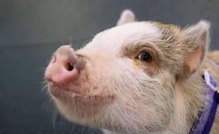 Un cochon domestique. Illustration.