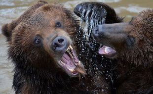 Deux grizzlis dans un zoo français (image d'illustration).