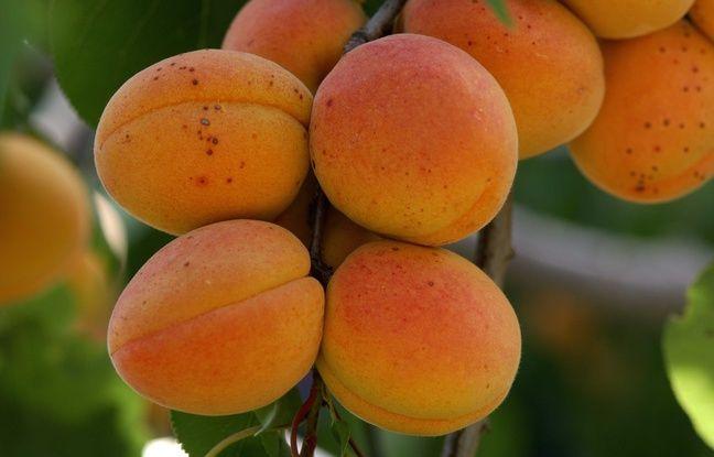 Des abricots sur une branche. illustration