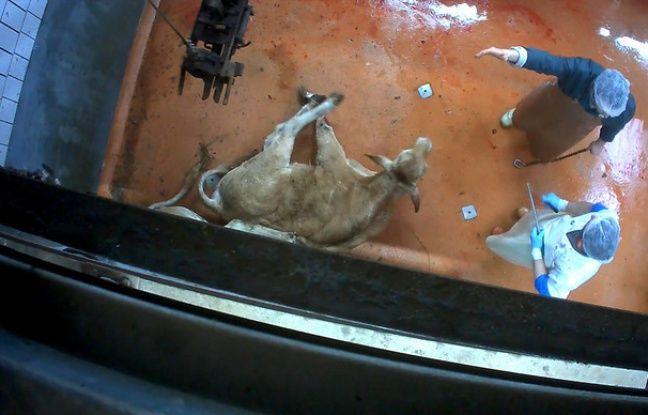 Un bovin au sol dans l'abattoir du Pays de la Soule.